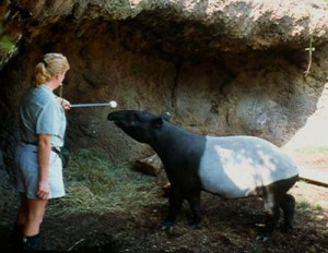 A Tapir learns to touch a target in a zoo